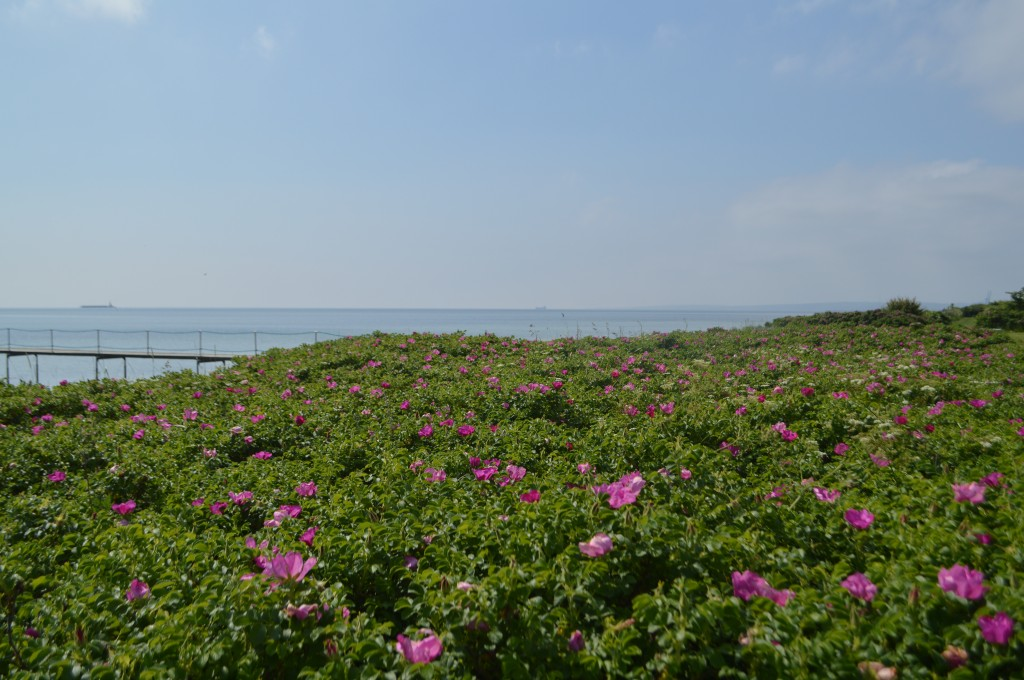 Hybenroser ved stranden