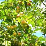 i sæson nu: Umodne æbler